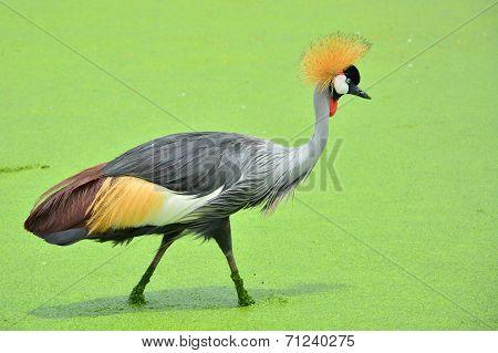 Grey Crowned Crane Bird