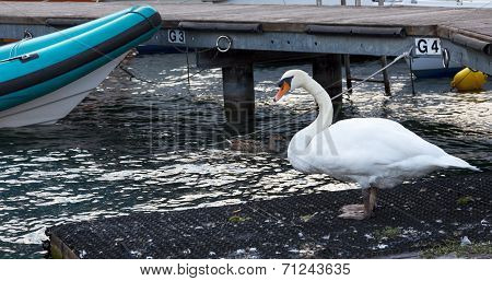 Swan In Port Of Lake Garda. Lago Di Garda.