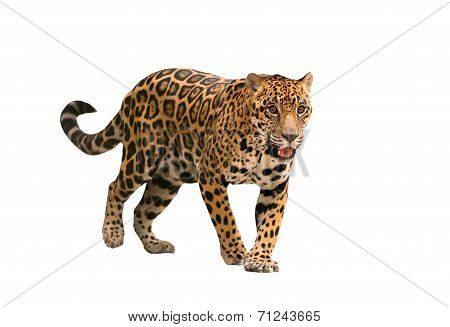 Jaguar ( Panthera Onca ) Isolated