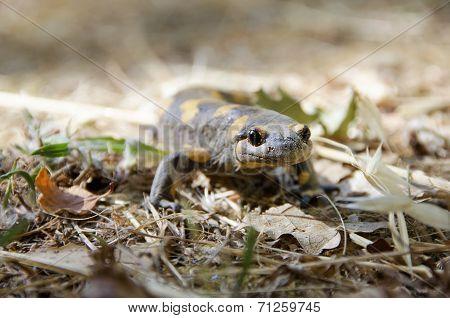 Poisonous salamandra