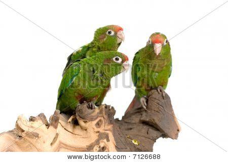 three quaker parrots