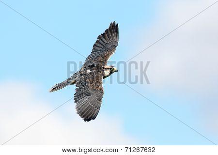 Lanner Falcon in flight