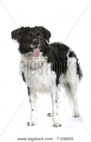 Stabyhoun/Frisian Pointer/ Frisian Pointing Dog /Stabij/ Beike/Staby