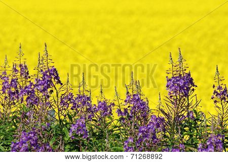 Purple And Yellow Field Flowers
