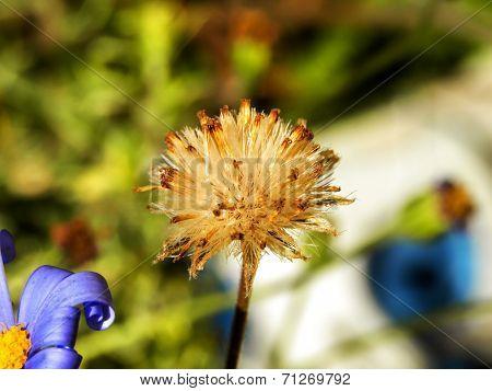 Felicia daisy seeds