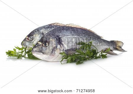 Gilt-head Sea Bream Fishes Isolated