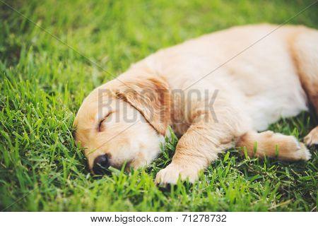 Adorable Golden Retriever Puppy Sleeping in the Yard