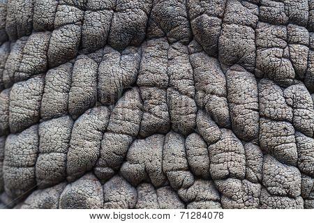 Skin Of White Rhinoceros