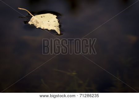 Dry Birch Leaf On Water