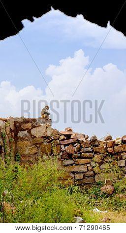 Rhesus Macaque at Tughlaqabad Fort, Delhi, India