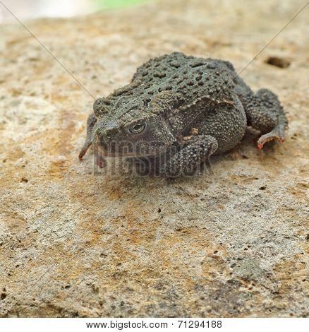 American Toad, Anaxyrus Americanus