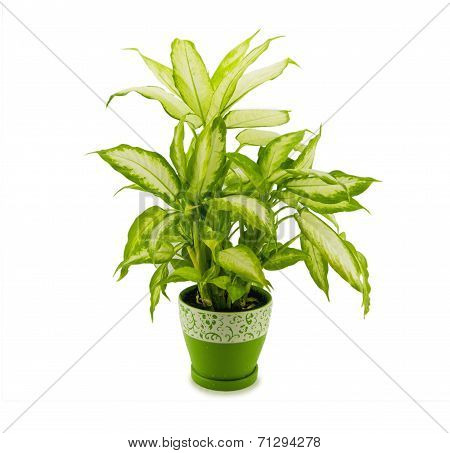 dieffenbachia grows in flowerpot isolated on white.