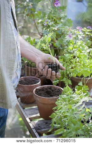 Midsection of senior man holding sapling in greenhouse