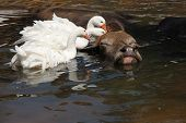 foto of wallow  - Large water buffalo enjoys a bath with geese cleaning him - JPG