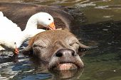 stock photo of wallow  - Large water buffalo enjoys a bath with geese cleaning him - JPG