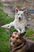 foto of swiss shepherd dog  - Portrait of beautiful dog  - JPG