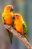 picture of sun perch  - Couple of Sun Conure Parrot perching on a branch