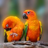 stock photo of sun perch  - Couple of Sun Conure Parrot perching on a branch - JPG