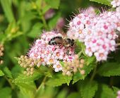 foto of meadowsweet  - bee on Spiraea Spring on the beautiful and sunny meadow - JPG