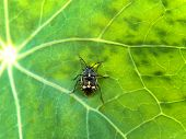image of nasturtium  - A close-up view of a black and orange shield bug on a nasturtium