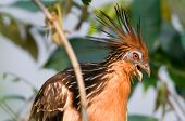 picture of stinky  - Hoatzin or stinky - JPG