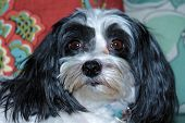 image of dog breed shih-tzu  - A Beautiful half Shih Tzu  - JPG