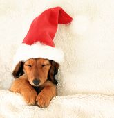 picture of christmas puppy  - Sleeping Christmas puppy wearing a Santa hat - JPG