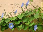 image of ipomoea  - Morning Glory  - JPG