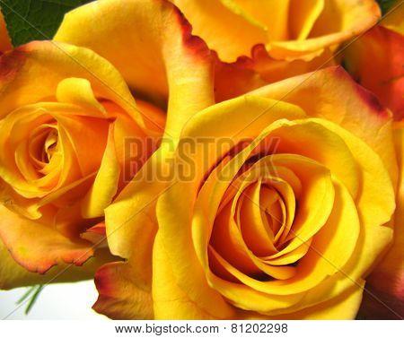 Bright flowering yellow orange roses