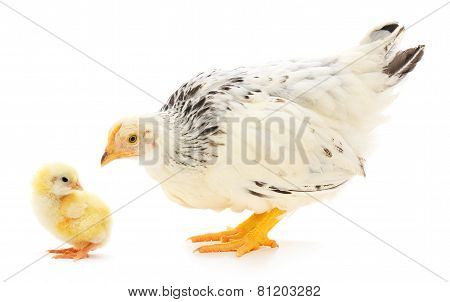 Hen And Chicken