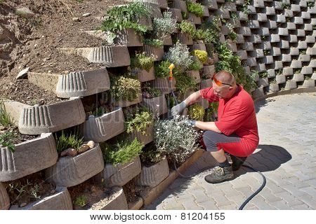 man gardener, betting flowers into a concrete wall, decorative element