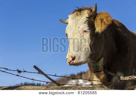 Cow Portrait With Bell