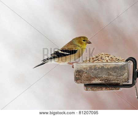 Goldfinch eating lunch