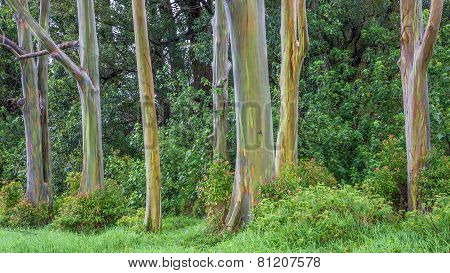 Grove Of Rainbow Trees