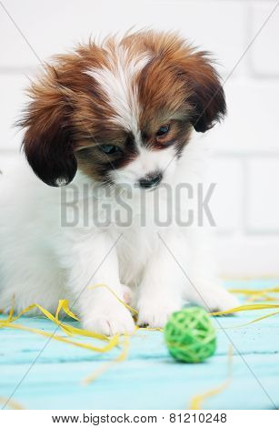 Papillon Plays With A Ball