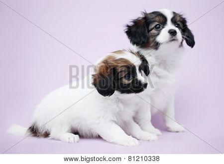 Two Puppy Papillon