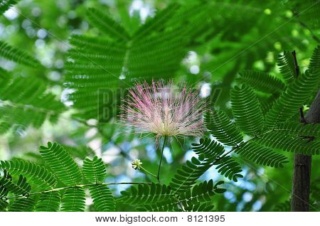 Powder Puff Tree Blossom