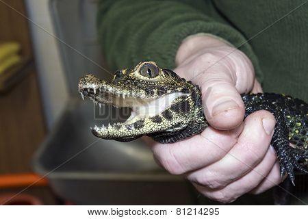 Young Dwarf Crocodile (osteolaemus Tetraspis)