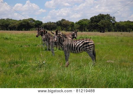 Herd of zebras are seen in Lake Chivero Recreational Park near Harare, Zimbabwe