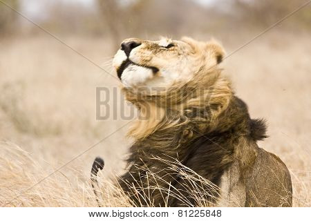 portrait of a wild male lion shaking himself