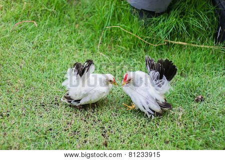 Two white chickens on green grass