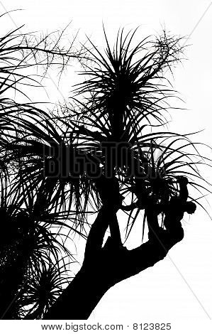 Old Nolina recurvata Hemsl. - silhouette