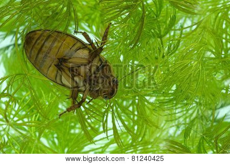 Yellow-margined Diving Beetle