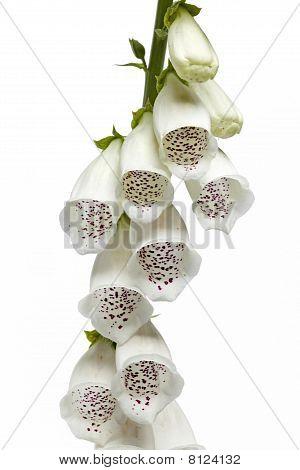 White foxglove flowers