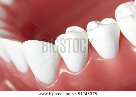 White healthy perfect teeth plastic model. Dental health.