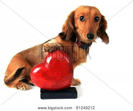 Dachshund puppy with her paw on a red valentine heart.