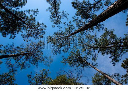 Sky and Pines
