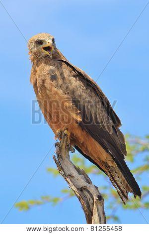 Yellow Billed Kite - African Wild Bird Background - Eagle with Attitude