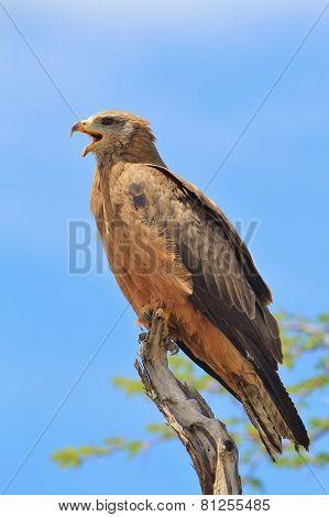 Yellow Billed Kite - African Wild Bird Background - Talking to Heaven