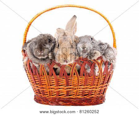 Three rabbit in a basket